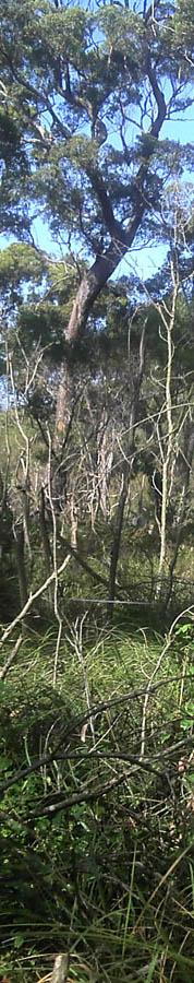 Coastal forest, Merimbula